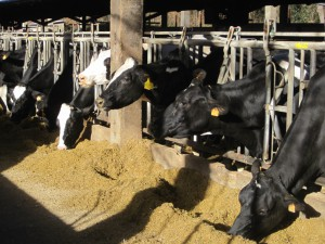 La fageda vacas